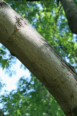 Acer saccharinum 'Skinneri' (Skinner's Cut-leaved Silver Maple), bark, branch