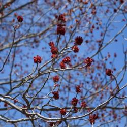 Acer rubrum (Red Maple), inflorescence