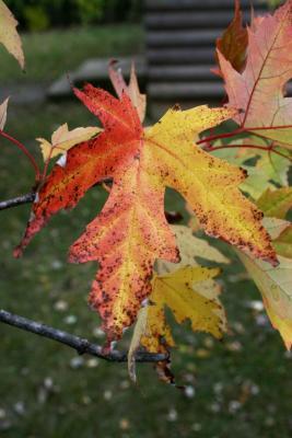 Acer saccharinum (Silver Maple), leaf, fall