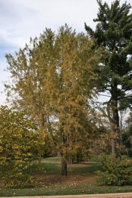 Acer saccharinum 'Skinneri' (Skinner's Cut-leaved Silver Maple), habit, fall