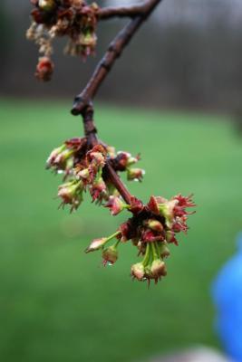 Acer saccharinum (Silver Maple), flower, pistillate