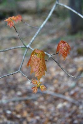 Acer rubrum (Red Maple), leaf, spring