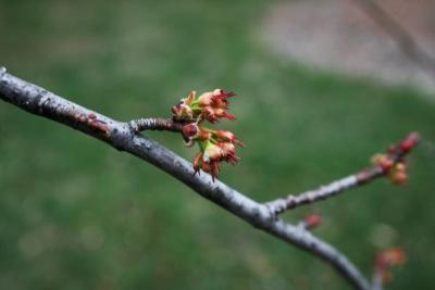 Acer saccharinum 'Skinneri' (Skinner's Cut-leaved Silver Maple), flower, pistillate