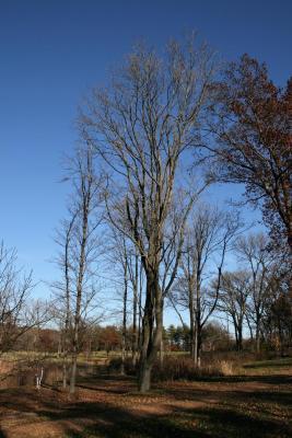 Acer rubrum (Red Maple), habit, winter