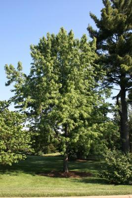 Acer saccharinum 'Skinneri' (Skinner's Cut-leaved Silver Maple), habit, spring
