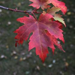 Acer saccharinum (silver_maple), along Lake Marmo with persistent color