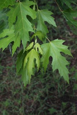 Acer saccharinum (Silver Maple), leaf, spring