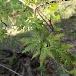 Acer saccharinum (Silver Maple), leaf, upper surface
