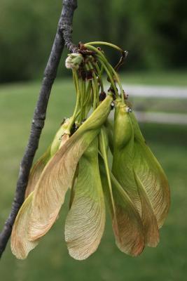 Acer saccharinum (Silver Maple), fruit, mature