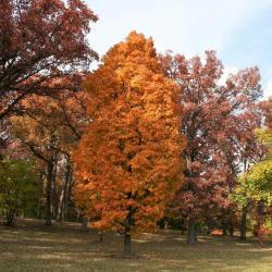 Acer saccharum 'Coleman' (Coleman Sugar Maple), habit, fall