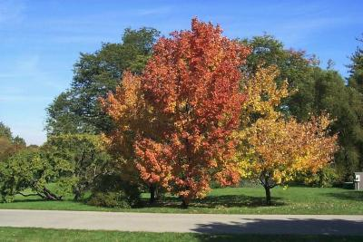 Acer rubrum (Red Maple), habit, fall