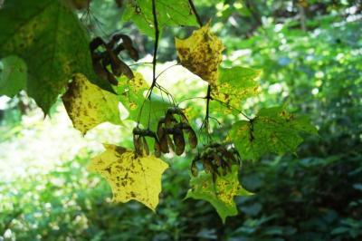 Acer saccharum (Sugar Maple), fruit, mature