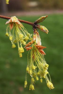 Acer saccharum (Sugar Maple), inflorescence
