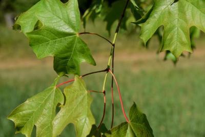 Acer saccharum (Sugar Maple), leaf, summer