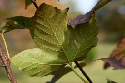 Acer sterculiaceum ssp. franchetii (Franchet's Maple), leaf, lower surface