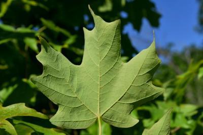 Acer saccharum (Sugar Maple), leaf, lower surface