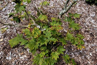 Acer shirasawanum 'Junihitoe' (Junihitoe Shirasawa's Maple), habit, summer