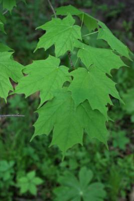 Acer saccharum (Sugar Maple), leaf, spring