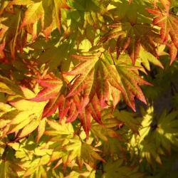 Acer ginnala (Amur maple), fruit