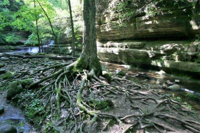 Acer saccharum (Sugar Maple), roots