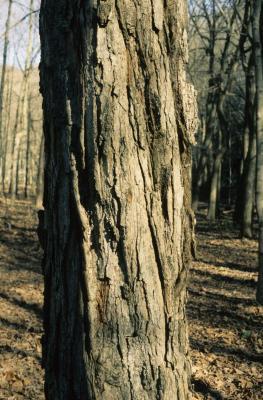 Acer saccharum (Sugar Maple), bark, mature