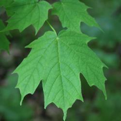 Acer saccharum (Sugar Maple), leaf, upper surface