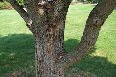 Acer miyabei 'Morton' (STATE STREET® Miyabe Maple), bark, mature