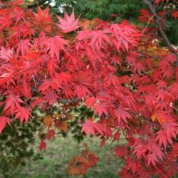 Acer palmatum var. heptalobum (Seven-lobed Japanese Maple), habit, fall