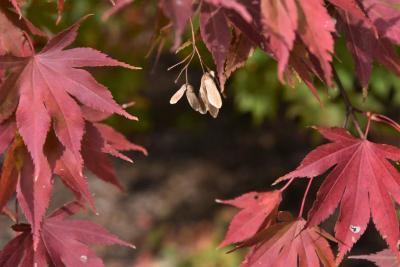 Acer palmatum var. heptalobum (Seven-lobed Japanese Maple), fruit, mature