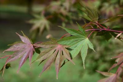 Acer palmatum var. heptalobum (Seven-lobed Japanese Maple), leaf, upper surface