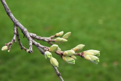 Acer miyabei 'Morton' (STATE STREET® Miyabe Maple), bud, flower