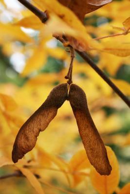 Acer triflorum (Three-flowered Maple), fruit, mature