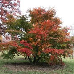 Acer palmatum 'Atropurpureum' (Purple-leaved Japanese maple), foliage