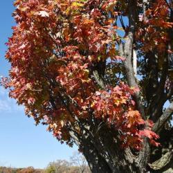 Acer x freemanii (Freeman's maple), over Lake Marmo in fall