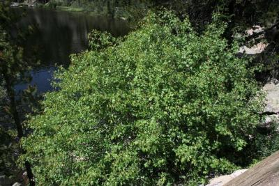 Acer glabrum (Rocky Mountain Maple), habit, summer