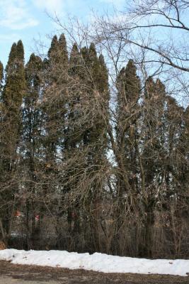 Acer negundo (Boxelder), habit, winter