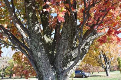 Acer x freemanii 'Armstrong' (Armstrong Freeman's Maple), bark, branch