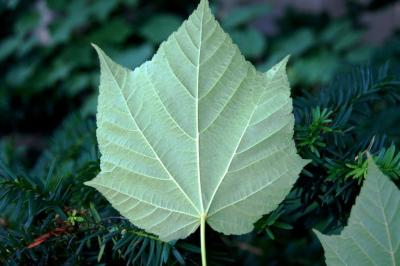 Acer 'White Tigress' (White Tigress Maple), leaf, lower surface