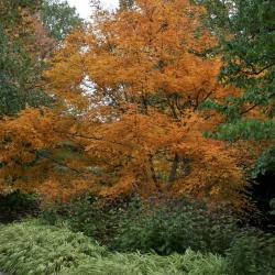 Acer tegmentosum (Manchurian Striped Maple), leaf, fall