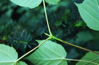 Acer 'White Tigress' (White Tigress Maple), bud, terminal