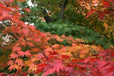 Acer palmatum var. heptalobum (Seven-lobed Japanese Maple), leaf, fall