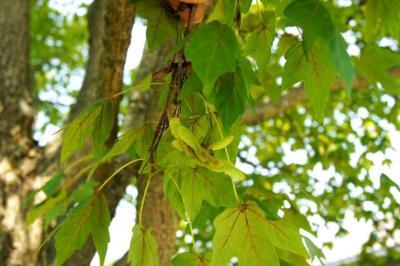 Acer miyabei 'Morton' (STATE STREET® Miyabe Maple), fruit, immature