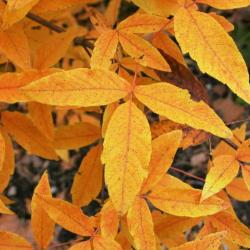 Acer triflorum (Three-flowered Maple), habit, fall