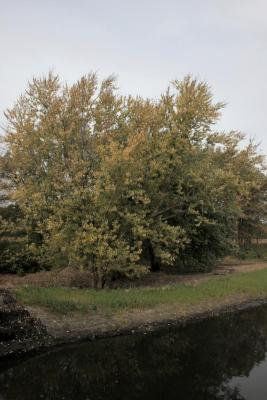 Acer saccharinum (Silver Maple), habit, fall