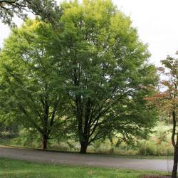 Acer miyabei 'Morton (STATE STREET® Miyabe Maple), habit, fall