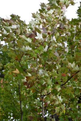 Acer x freemanii (Freeman's Maple), habit, fall