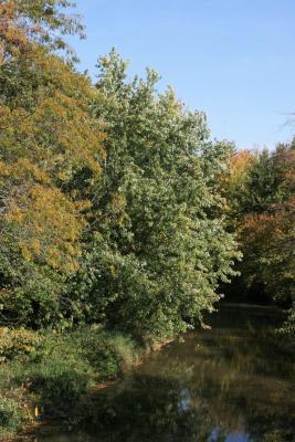 Acer saccharinum (Silver Maple), habitat