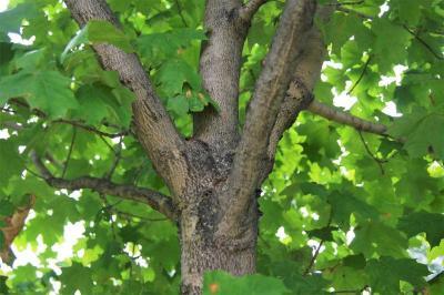Acer saccharum 'Morton' (CRESCENDO™ Sugar Maple), bark, branch