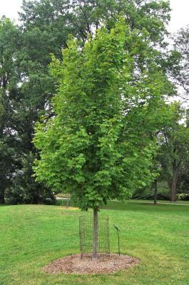Acer saccharum 'Morton' (CRESCENDO™ Sugar Maple), habit, young