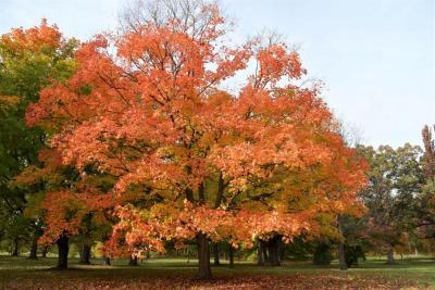 Acer saccharum 'Green Mountain' (Green Mountain Sugar Maple), habit, fall